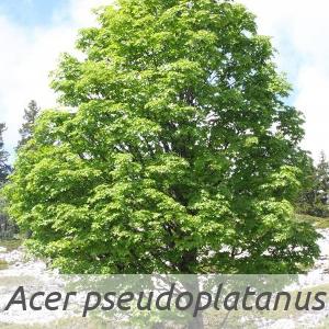 Acer pseudoplatanus par Marie PORTAS (cc by sa - Tela Botanica).jpg