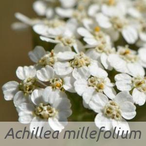 Achillea millefolium par Jean-Pascal MILCENT (cc by sa - Tela Botanica)