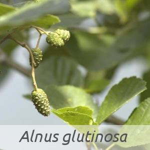Alnus glutinosa par Jean-Pascal MILCENT (cc by sa - Tela Botanica)