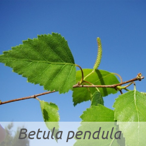 Betula pendula par Claude FIGUREAU (cc by sa - Tela Botanica)