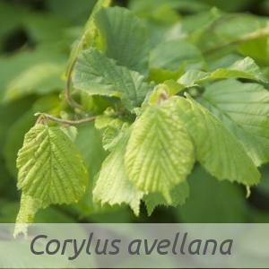 Corylus avellana par Claire SUTTER (cc by sa - Tela Botanica)