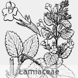 Lamiaceae (cc by sa - Flore de Coste)