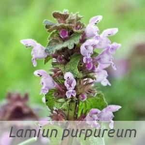 Lamium purpureum par Jacques MARÉCHAL (cc by sa - Tela Botanica)