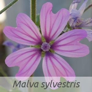 Malva sylvestris par Christophe BERNIER (cc by sa - Tela Botanica)