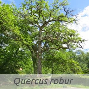 Quercus robur par Marie-France PETIBON (cc by sa - Tela Botanica)