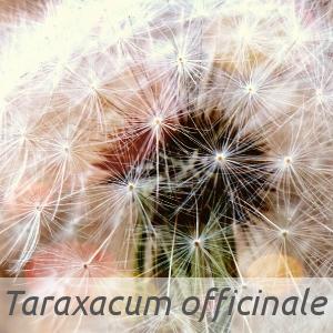 Taraxacum officinale par Giuseppe Rigucci (cc by sa - Tela Botanica)