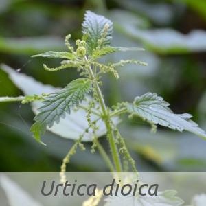 Urtica dioica par J LAUNAY (cc by sa - Tela Botanica)