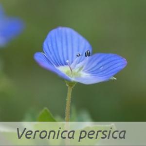 Veronica persica par Éric LEGUAY (cc by sa - Tela Botanica)