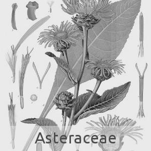 asteraceae (cc by sa - Wikipedia)