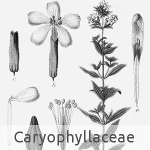 caryophyllaceae (cc by sa - Wikipedia)