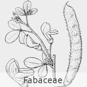 fabaceae (cc by sa - Flore de Coste)