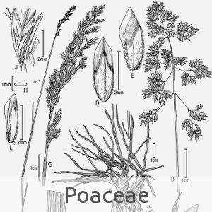 poaceae (cc by sa - Wikipedia)