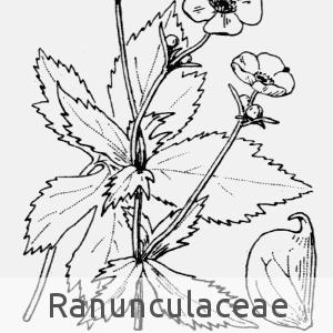 ranunculaceae (cc by sa - Wikipedia)