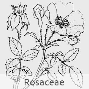 rosaceae (cc by sa - Flore de Coste)
